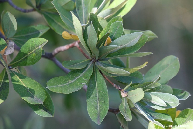 plantbook.co.za_terminalia-sericea4